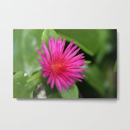 Pink Flower of Succulent Carpet Weed  Metal Print