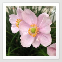 Pretty in pink Poppy Flower  Art Print