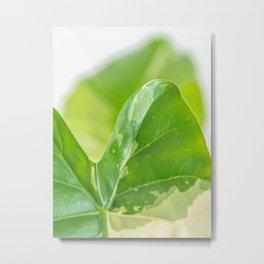 Alocasia Albo Variegata Variegated Leaf Metal Print