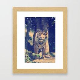 The One Eyed Sumatran Tiger. Framed Art Print