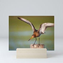 #black-tailed godwit #seldom #became #marsh meadow #breeder Mini Art Print