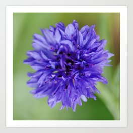 Cornflower Blue Bachelors Button Flower Art Print