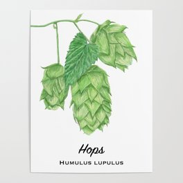 Beer Hops Botanical Painting Poster