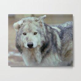 Bruised Wolf Metal Print