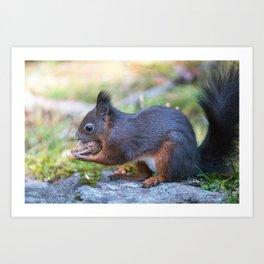 Cute eurasian red squirrel Sciurus vulgaris holding a big walnut. Arosa, Switzerland Art Print
