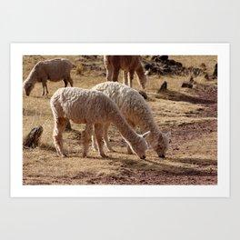 Puno Llamas Art Print