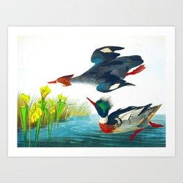 Red-breasted Merganser Bird Art Print