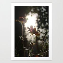 Daisy at sundown Art Print