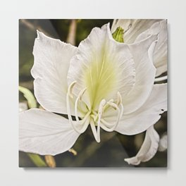 Butterfly tree or Bauhinia variegata Metal Print