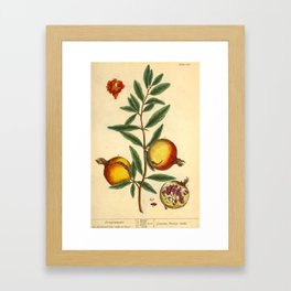 """Pomegranate by Elizabeth Blackwell from """"A Curious Herbal,"""" 1737 (benefiting The Nature Conservancy) Framed Art Print"""