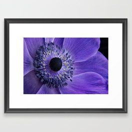 Purple Anemone Framed Art Print