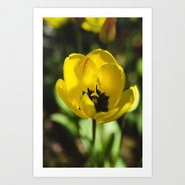 Yellow Tulip Flower Art Print