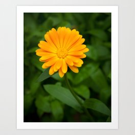 Yellow flower calendula officinalis and green leaves on background Art Print