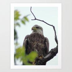bald eagle 2016 Art Print
