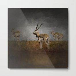 Storm Spotters - Blackbuck Antelope - Wildlife  Metal Print