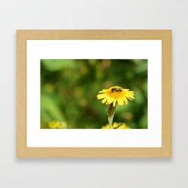 Small bee on yellow fleabane Framed Art Print