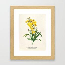 Yellow Cheiranthus Flower Vintage Illustration Framed Art Print