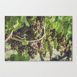 Grapes in the Vineyard Canvas Print