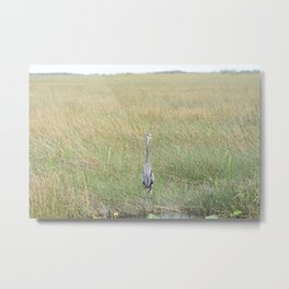 A solitary Great Blue Heron in the Everglades Metal Print