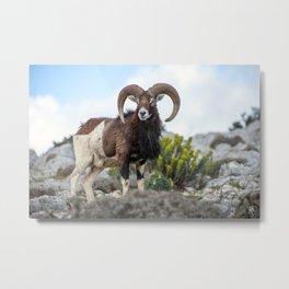 The Mouflon 8152 Metal Print
