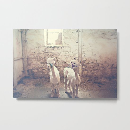 Young Alpacas  Metal Print