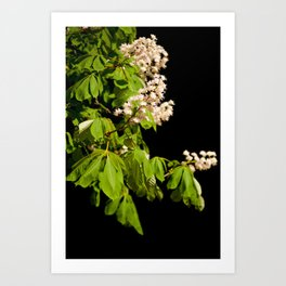 blooming Aesculus tree on black Art Print