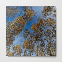 Trembling Aspen Trees in Jasper National Park Metal Print