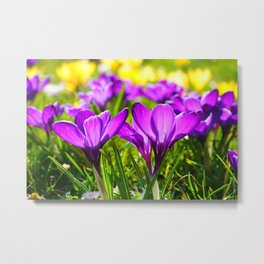 Purple Crocuses Metal Print