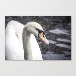 Closeup Profile of a Swan Swimming in a Pond in Amsterdam, Netherlands Canvas Print