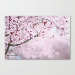 Cherry Blossoms in Grants Pass Canvas Print