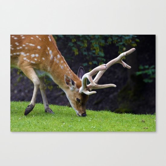 Fallow Deer Canvas Print