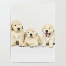 Portrait Of Golden Retriever Puppies Poster