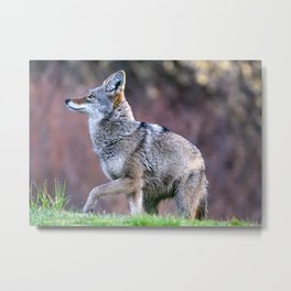 Wild coyote on the hunt Metal Print