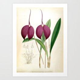Masdevallia Harryana Coerulescens Vintage Lindenia Orchid Art Print