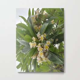 Kalachuchi, Plumeria rubra, temple flower Metal Print