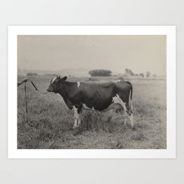 vintage antique black and white photograph of cow Art Print