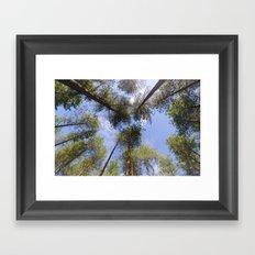 Corsican Pine Canopy Framed Art Print