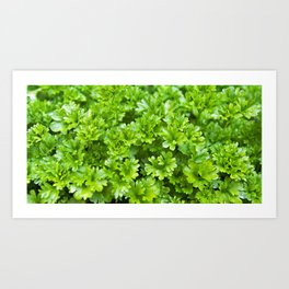 Green parsley herb pattern Art Print