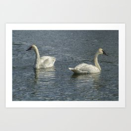 Two Trumpeter Swans at Oxbow Bend Art Print