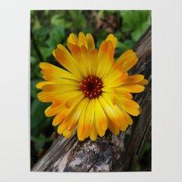 marigold on log Poster