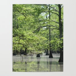 Cypress Trees in the Louisiana Swamp Poster