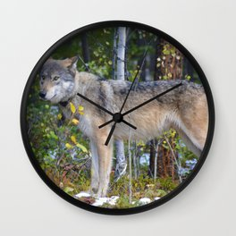 Wolf encounter in Jasper National Park Wall Clock