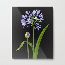 Agapanthus - African Lily - Illustration - Susanne Johnson Art Metal Print