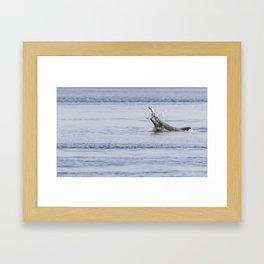 bottlenose dolphin eating a salmon Framed Art Print