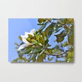 Magnolia Flower up in a Tree Metal Print
