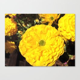 Yellow Zinnias Canvas Print