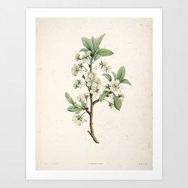 Cherry Blossom Flower Botanical Illustration Art Print