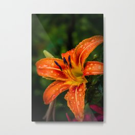 July Wet Tiger Lily Metal Print
