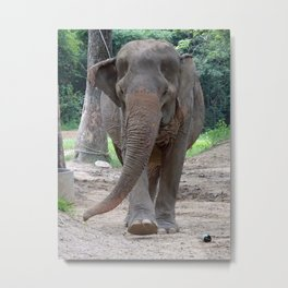 old lady elephant Metal Print