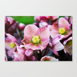 February Blooms Canvas Print